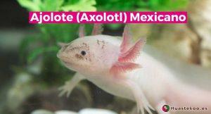 Ajolotes mexicanos - Huastekoo España